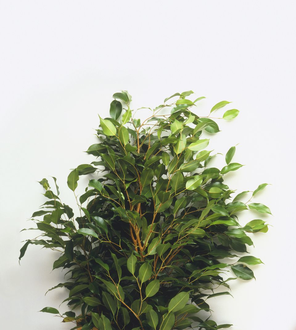 ficus plant - Tropical House Plants