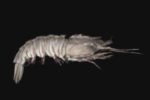 A rock shrimp