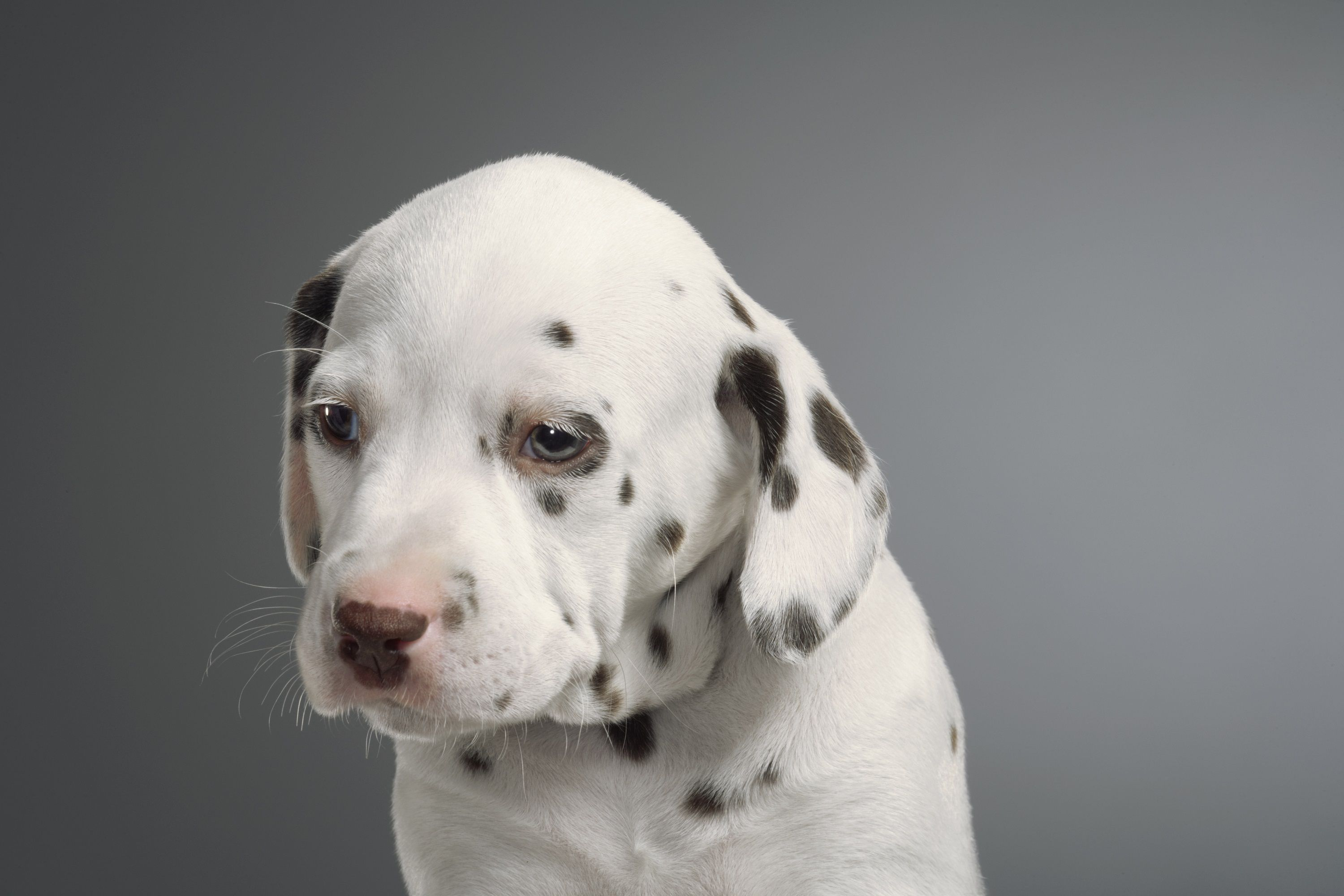 Training Deaf Puppies And Dogs