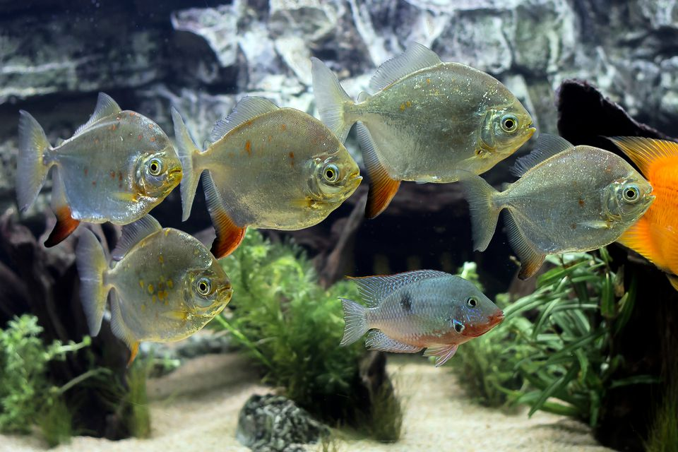 silver dollar fish in a group