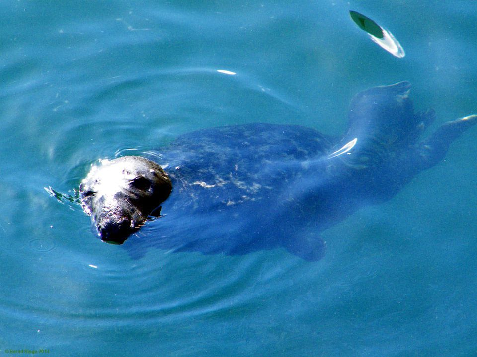 A seal might be mis-identified if suddenly appearing inland ...