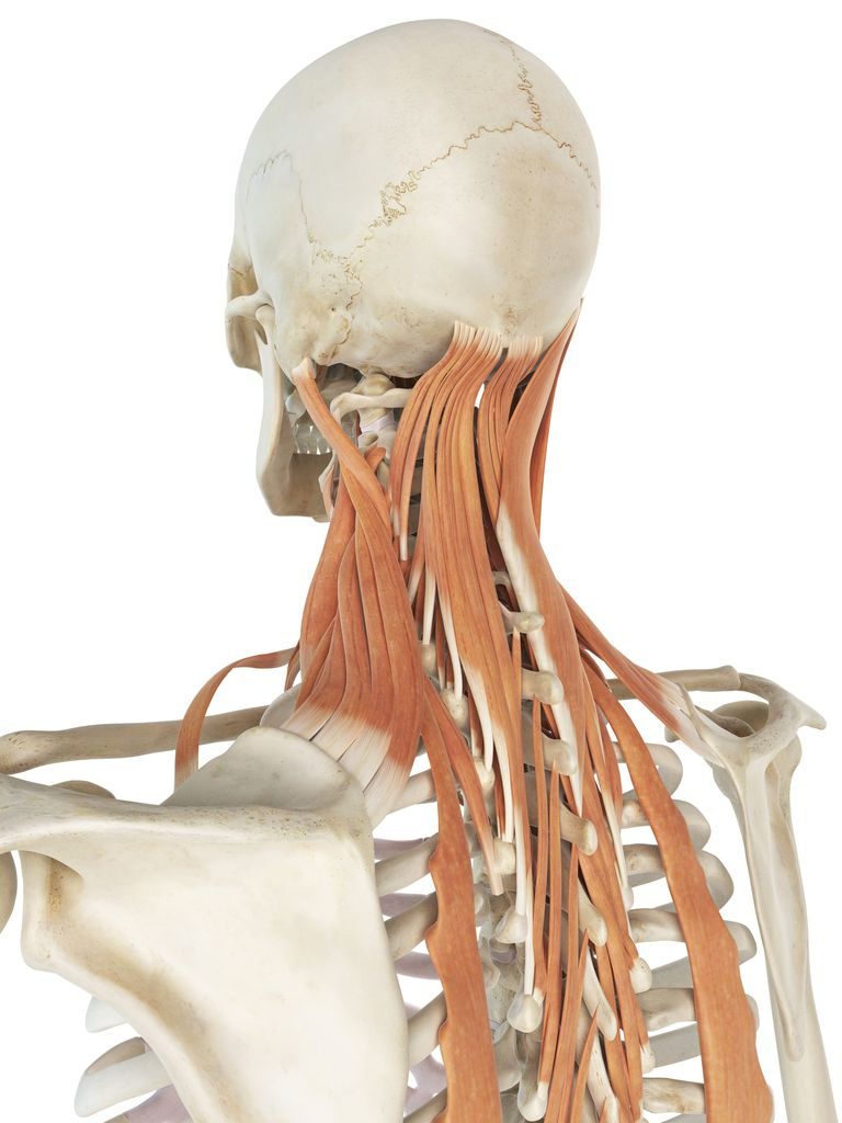 Levator scapula muscles run from the top inside border of shoulder bone to the neck.