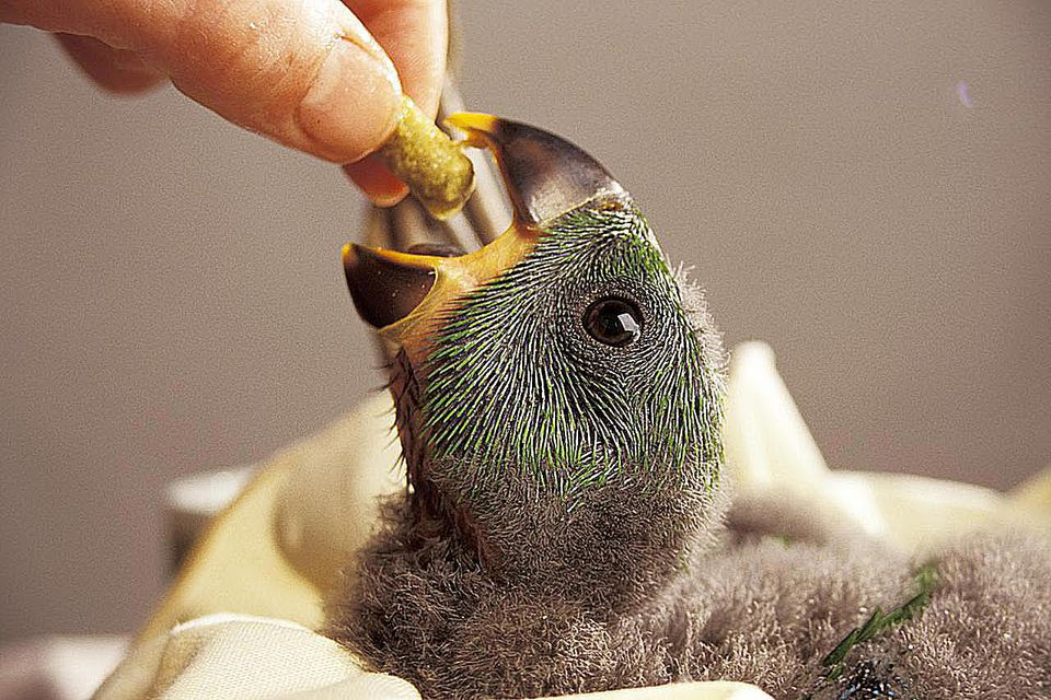 An infant parrot is being fed by someone.