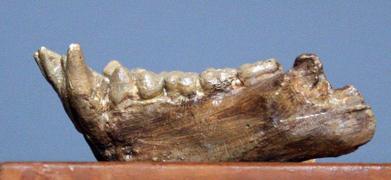 pliopithecus