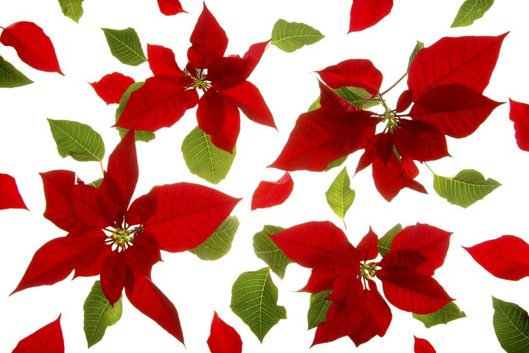 A poinsettia isn't just a pretty holiday plant. It's also a natural pH indicator.