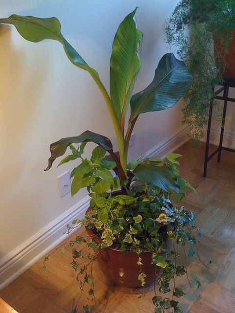 How to Grow Your Own Bananas Indoors