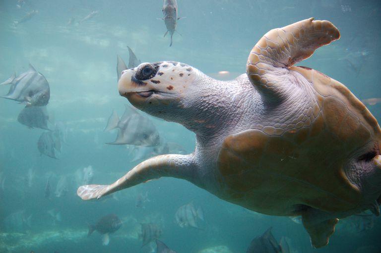Loggerhead Turtle / Upendra Kanda / Moment / Getty Images