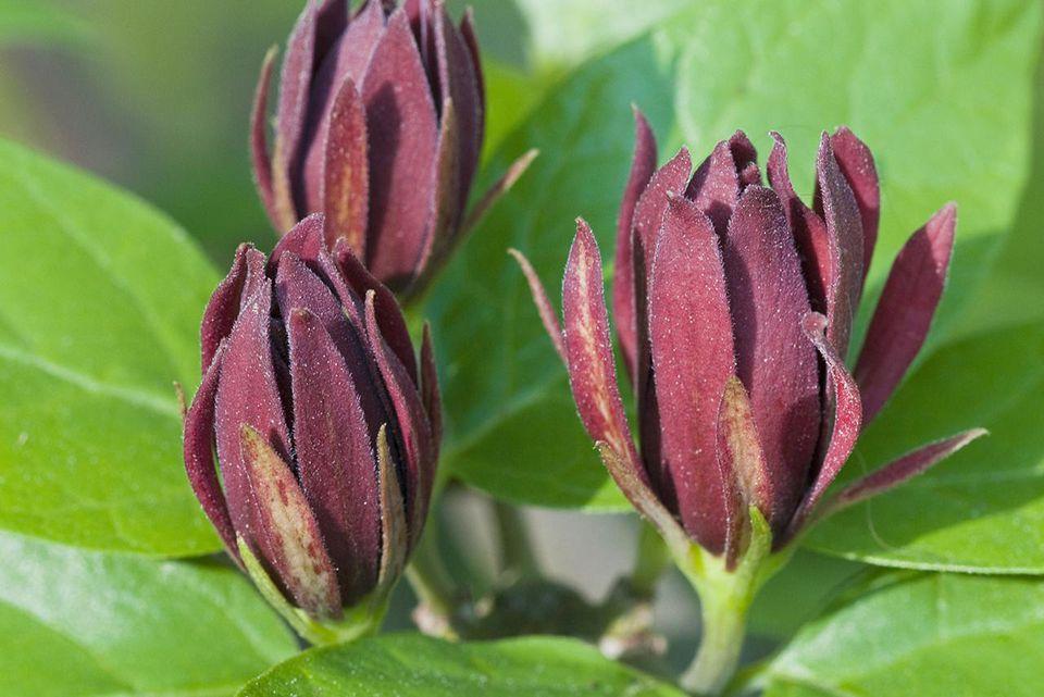 Sweetshrub (Calycanthus floridus) Great Smoky Mountains National Park, North Carolina, USA