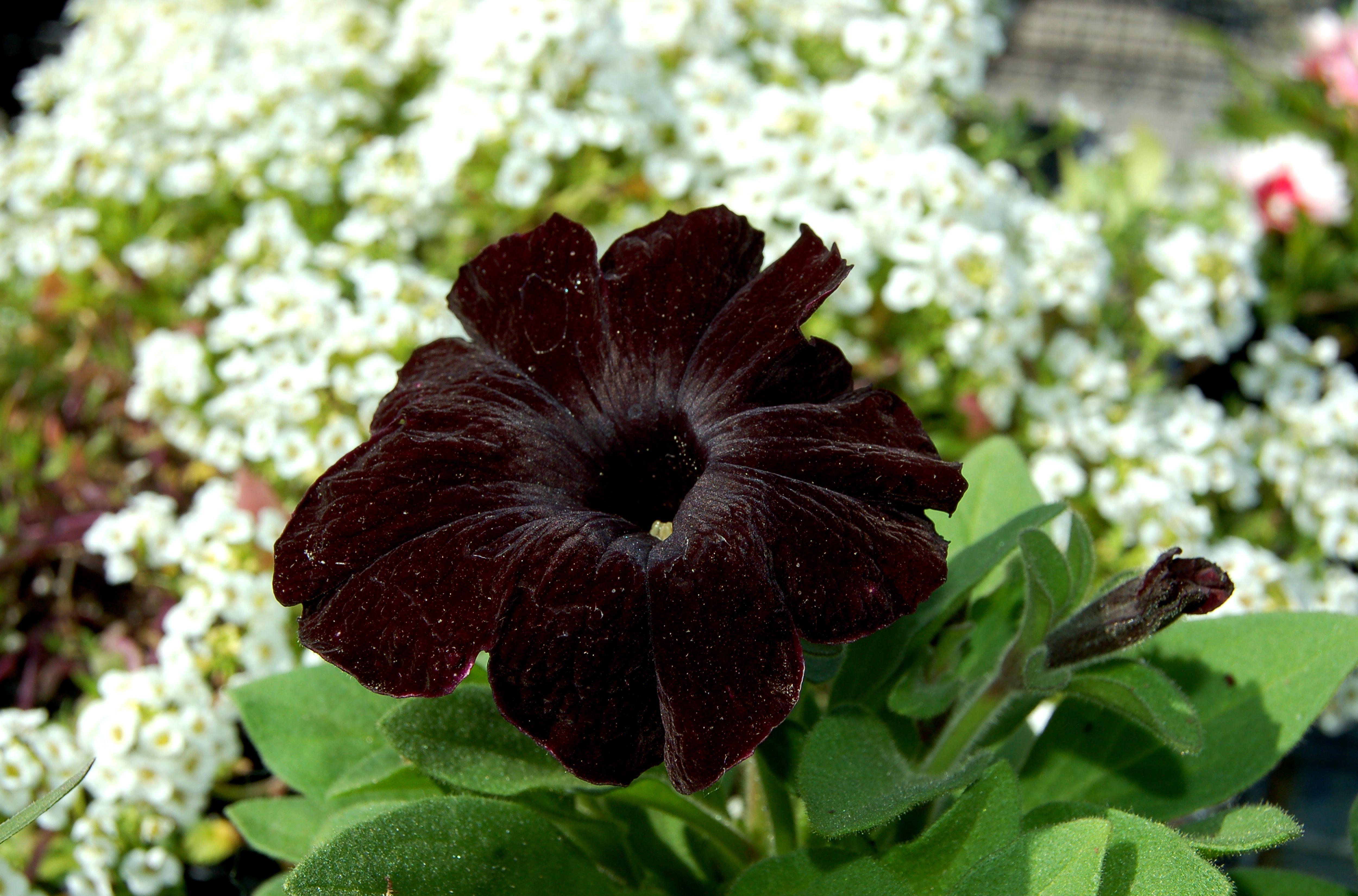Pictures of black flowers izmirmasajfo