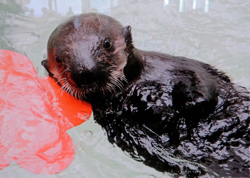 Sea Otter Ellie
