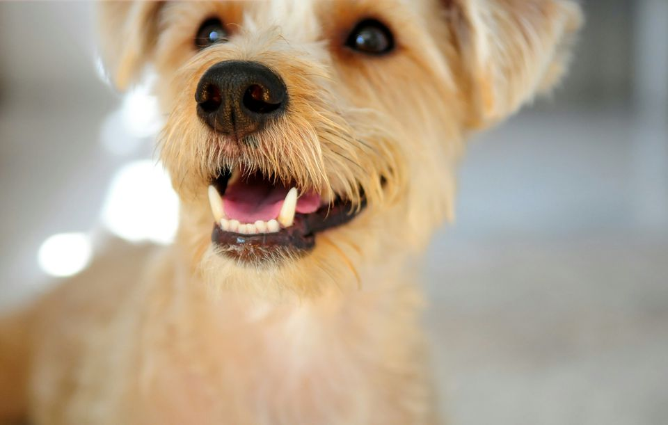 Close-up of terrier dog
