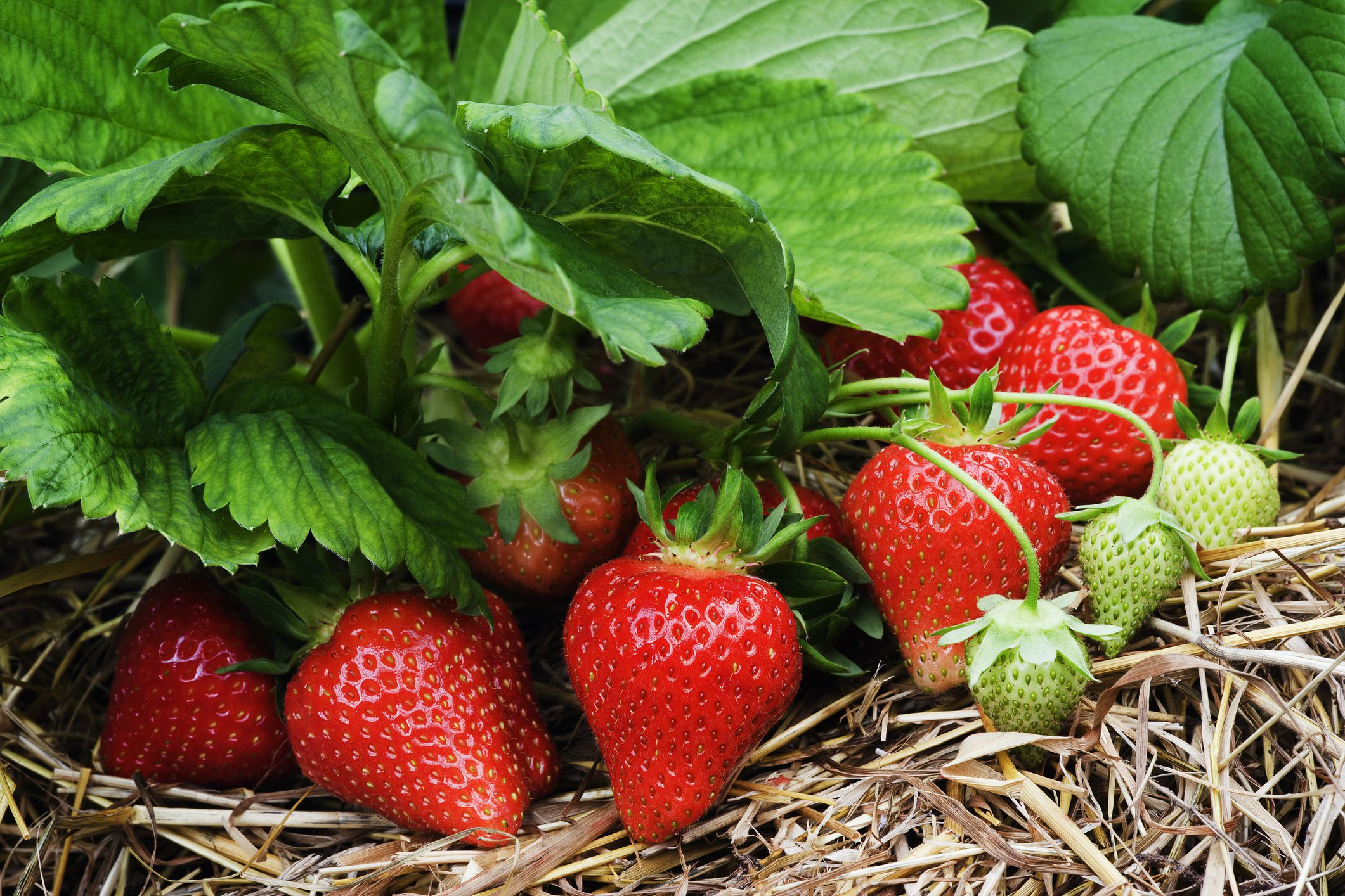 Image result for growing strawberries