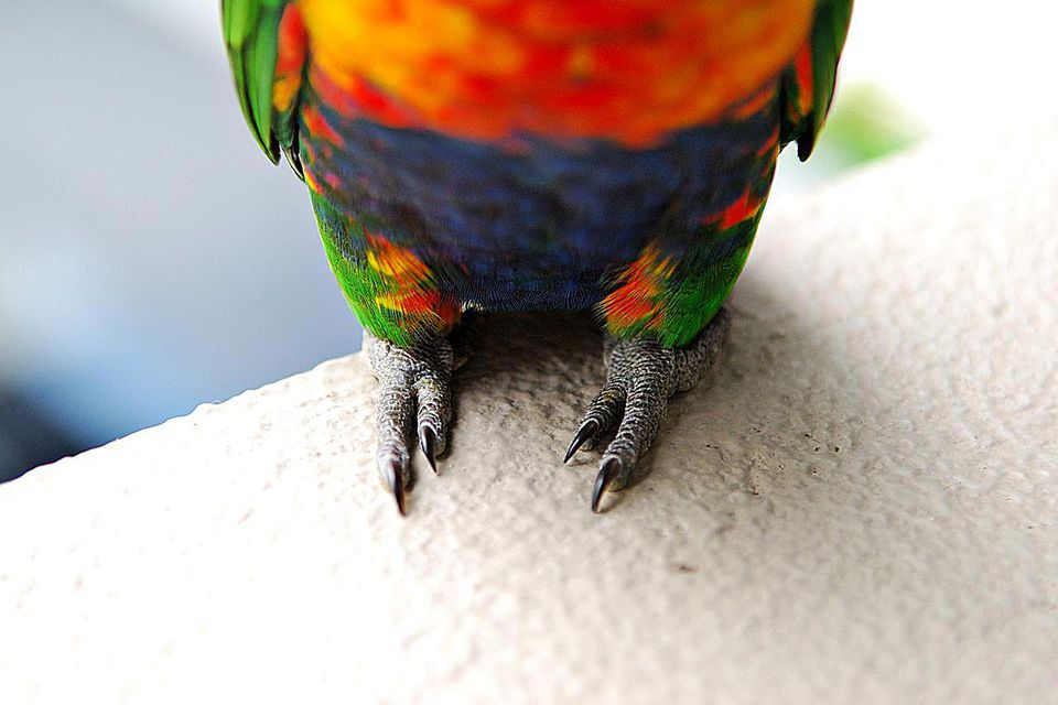Rainbow lorikeet bird sitting on a window edge. Focus is on lower half of the body and the bird's feet.