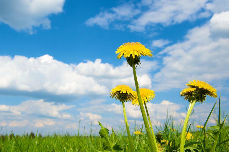 Spring dandelions in a green field under a blue sky