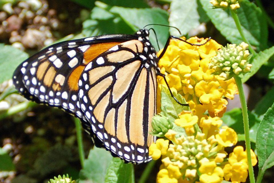 Monarch Butterfly at Desert Botanical Garden in Phoenix
