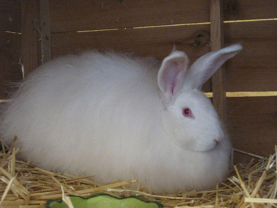 angora rabbit зурган илэрцүүд