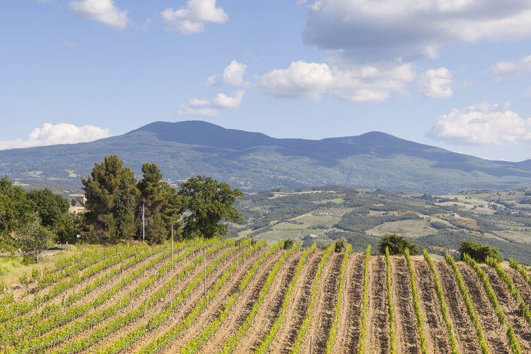 A vineyard near Montalcino, Italy.