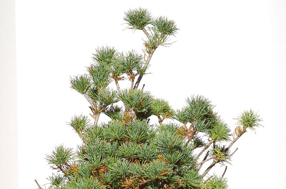 Dwarf white pine tree picture.