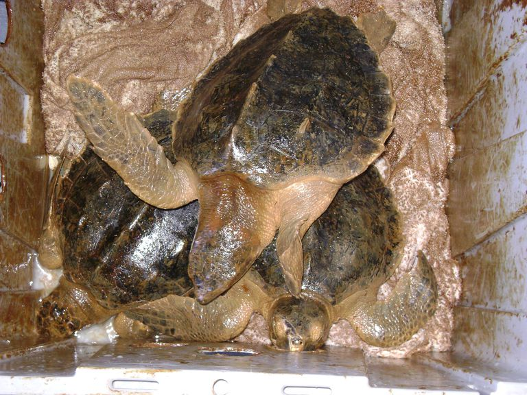 Oiled Sea Turtles Rescued June 1 Louisiana Department of Wildlife and Fisheries biologists and enforcement agents rescued four oiled Kemp's ridley sea turtles this morning off the Grand Isle coast.