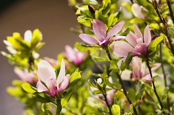 Jane Magnolia Tree Or Shrub To Brighten The Yard