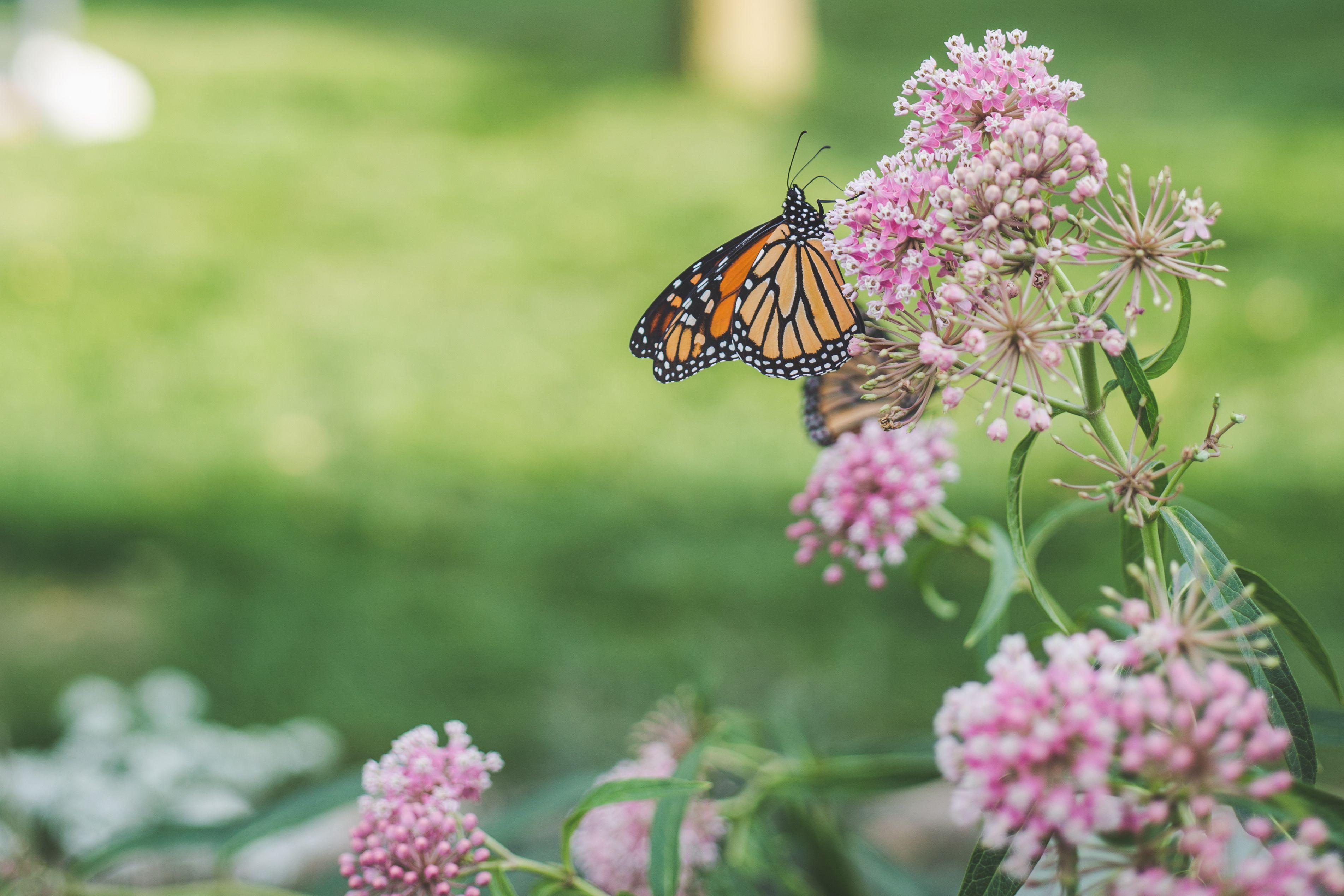 12 perennial plants that butterflies love