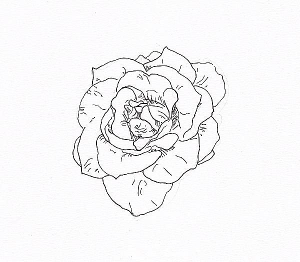 Flower Petals Line Drawing : Draw a rose with fiber tip pen