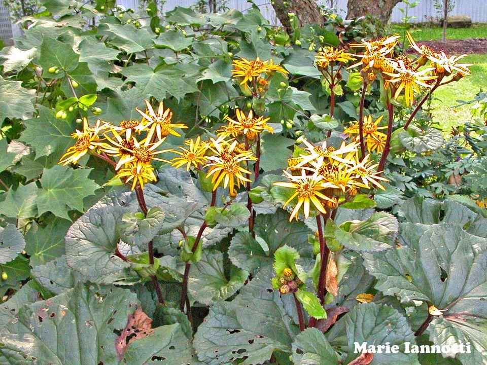 Leopard Plant (Ligularia dentata)