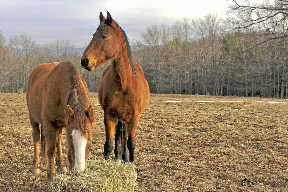 Horses eating hay in country field in the winter
