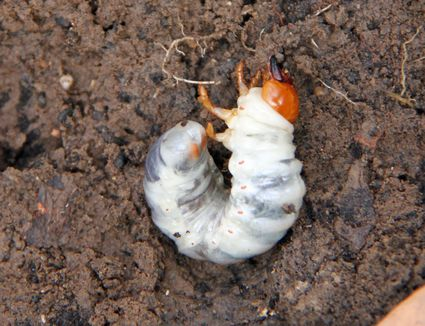 how to kill curl grubs in garden beds