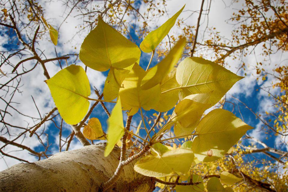 Fall Foliage in Eastern California