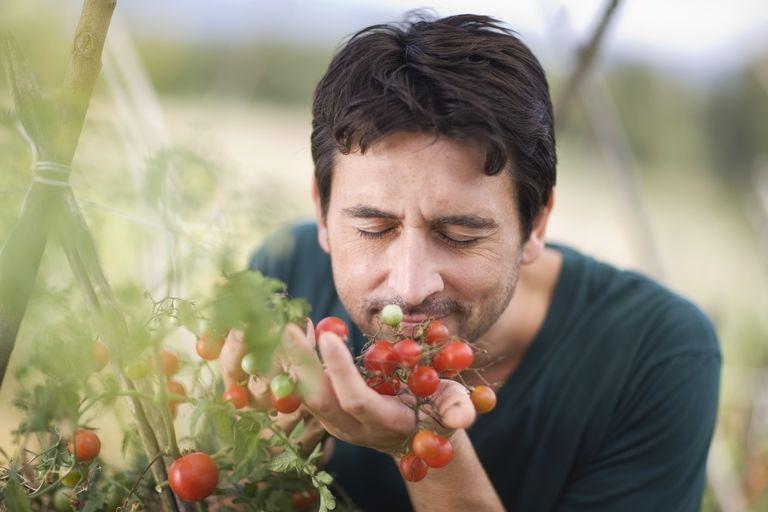 Italian farmer smelling tomatoes