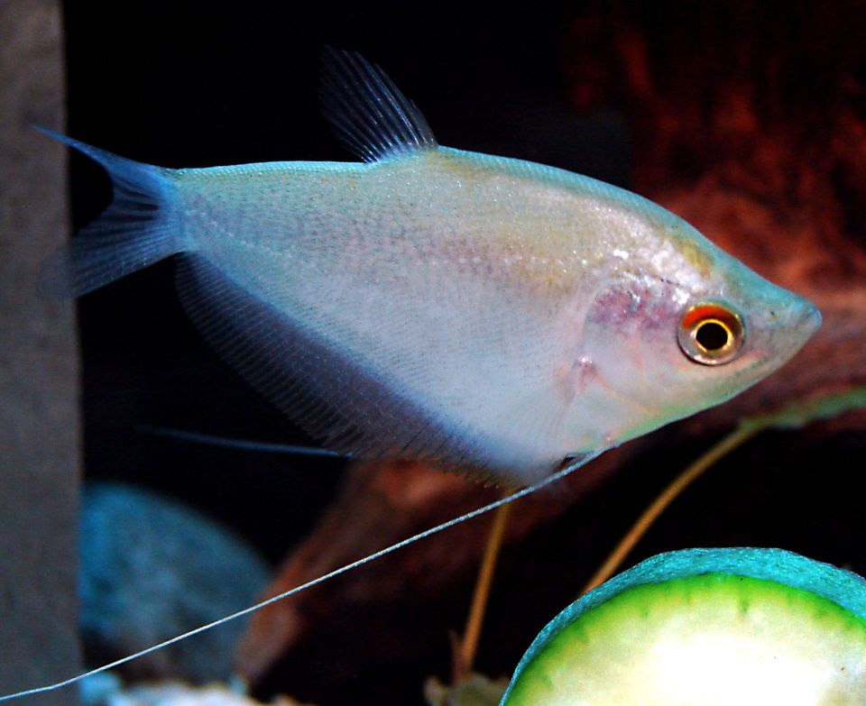 Trichogaster microlepis - Moonlight Gourami