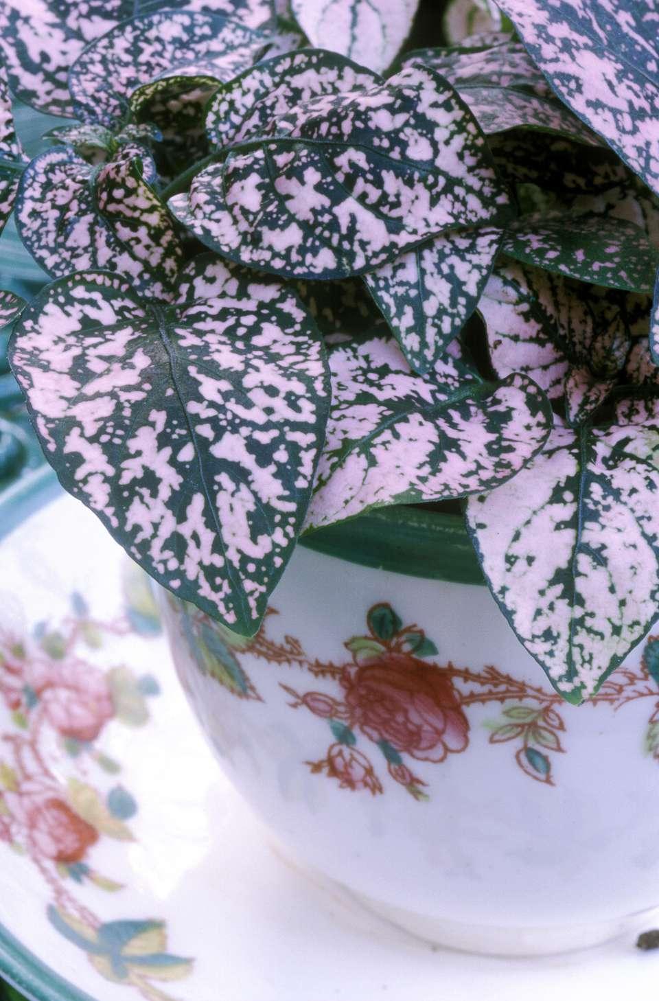 polka-dot-plant-houseplant.jpg