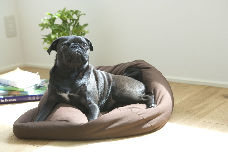 pug dog on bet, go to place