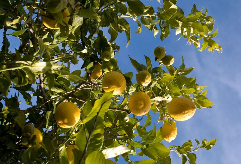 Lemons Hanging from a Tree with Sky in the Background