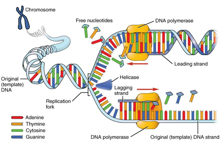 DNA replication faithfully duplicates the entire genome of the cell. During DNA replication, a number of different enzymes work together to pull apart the two strands so each strand can be used as a template to synthesize new complementary strands
