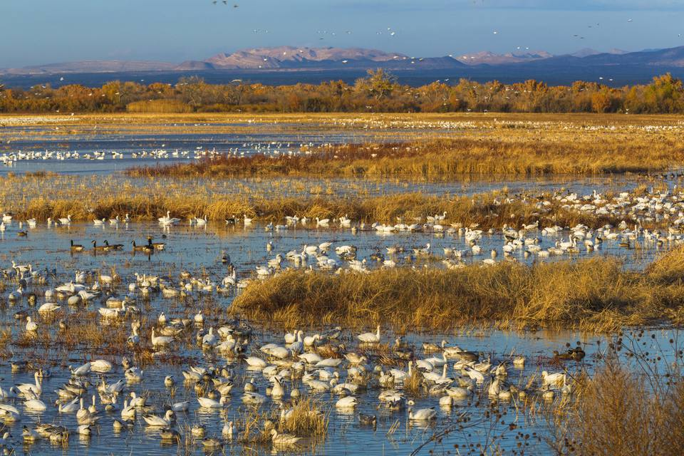 Canada and snow geese in water, Bosque del Apache National Wildlife Refuge, New Mexico, USA