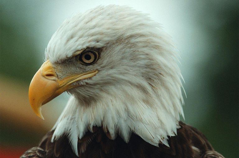 Challenger, a 10 year-old male bald eagle sits quietly during an event to celebrate the success of the Endangered Species Act