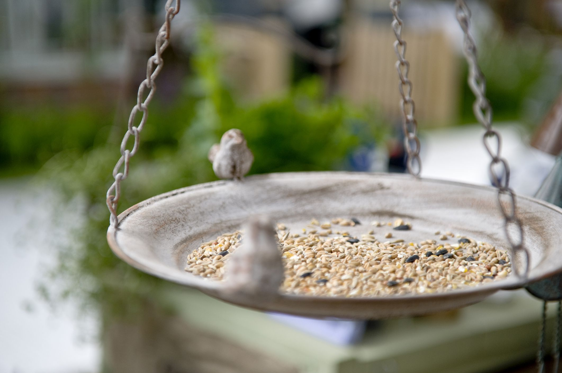 safflower seeds and the birds that eat them