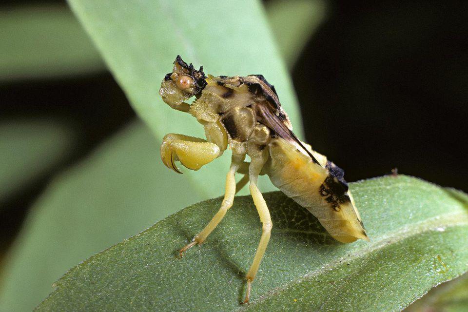 Ambush Bug on leaf
