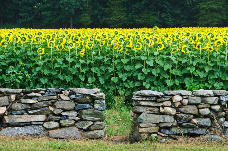 Stone wall with field of sunflowers in back of it.