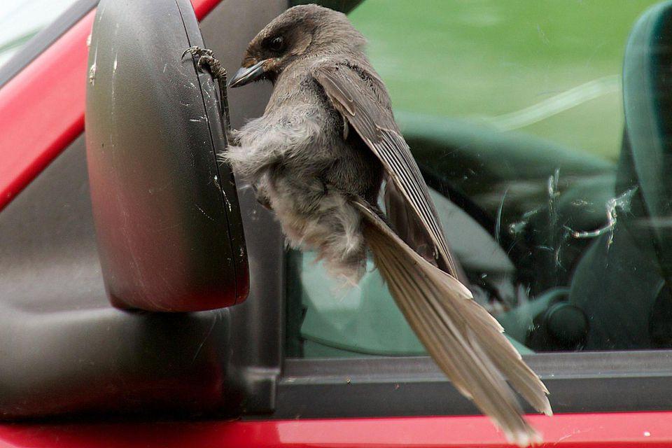 Gray Jay Attacking a Car Mirror