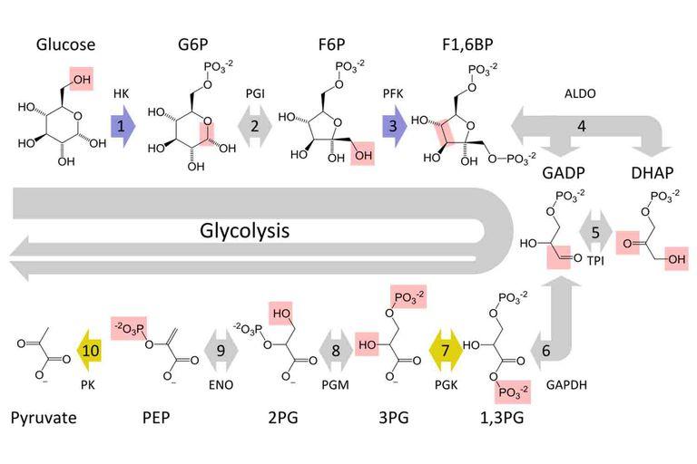 10 steps of glycolysis cellular respiration glycolysis the dissolution of sugar is carried out in the cytoplasm of cells thomas shafee via wikimedia commons cc by 40 ccuart Choice Image