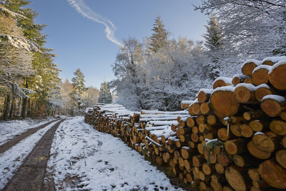 Softwood logs along road