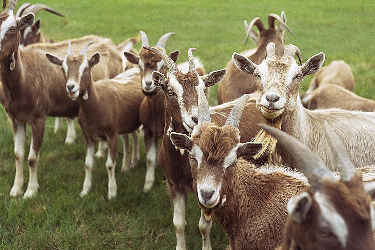 benefits of raising goats on a small farm