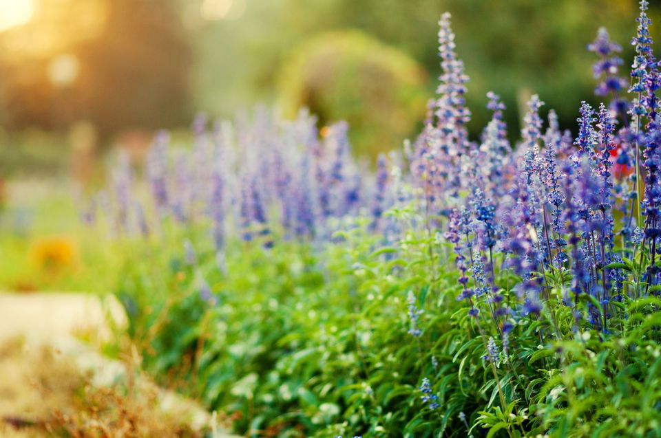 Planting of many Victoria Blue salvia plants in bloom.