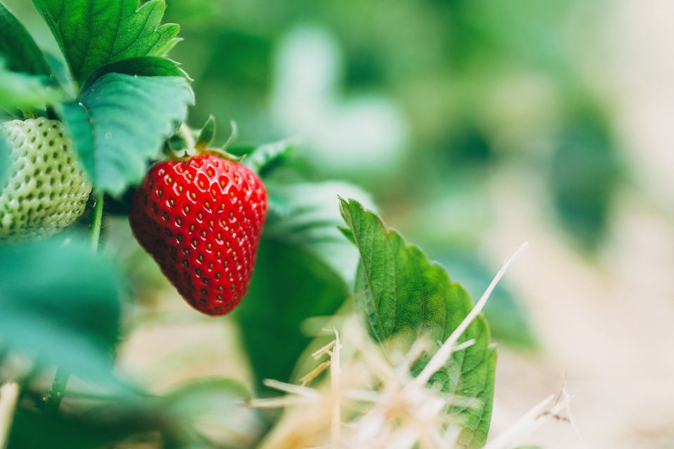 Close-Up Of Strawberries Growing On Field