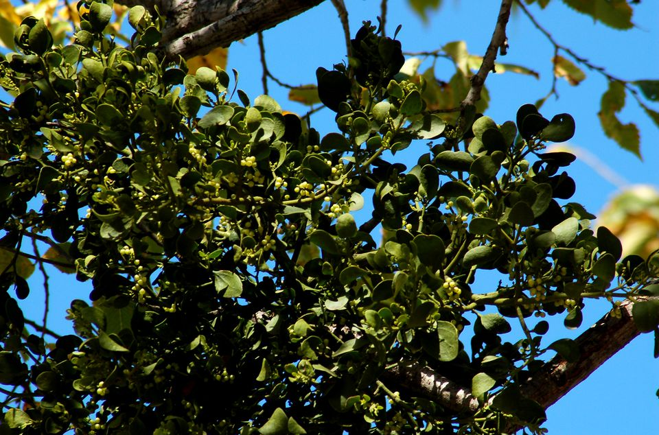 Image of mistletoe plant with berries on a tree.