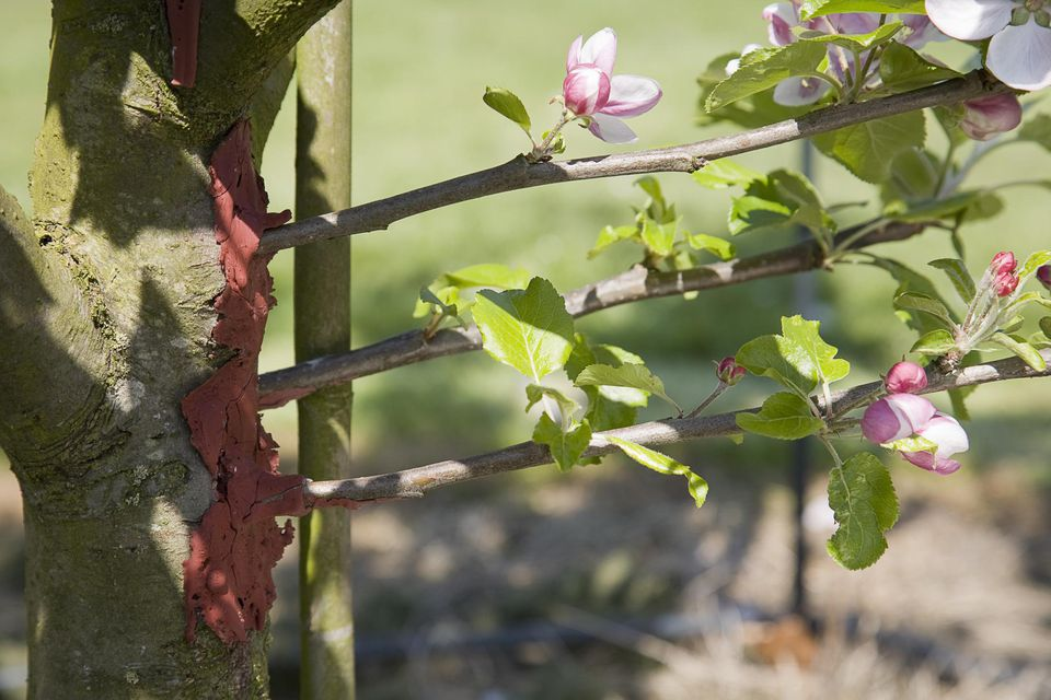 Grafts for a replacement arm on an established trained apple tree (Malus domestica)