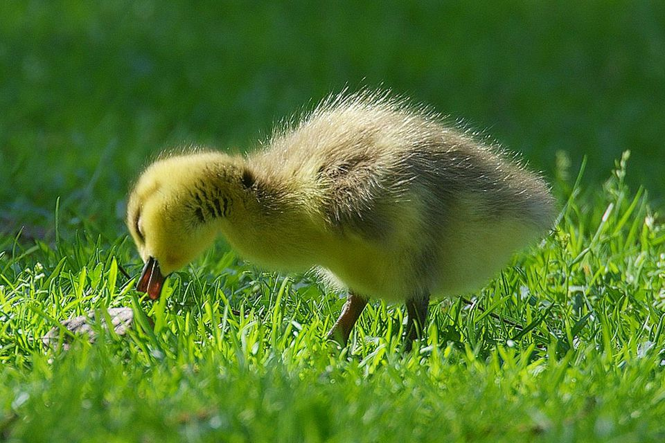 Baby Goose Grazing on Grass